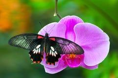 Vlinder op Orchidee stock afbeeldingen