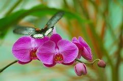 Vlinder op Orchidee Royalty-vrije Stock Afbeelding