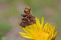 Vlinder op Paardebloem Stock Foto