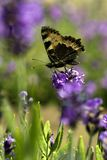 Vlinder op Purpere Bloem royalty-vrije stock fotografie