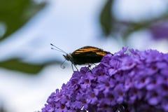 Vlinder op Purpere Bloem Stock Afbeeldingen