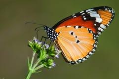 Vlinder op purpere bloemen Stock Fotografie