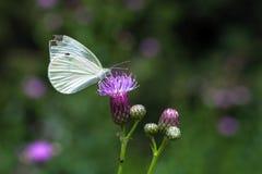 Vlinder op purpere bloemen Royalty-vrije Stock Foto's