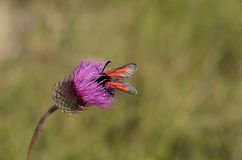Vlinder op purpere distelbloem Royalty-vrije Stock Afbeeldingen