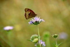 Vlinder op purpere wildflower Royalty-vrije Stock Afbeeldingen