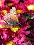 Vlinder op rode bloem stock afbeelding