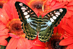 Vlinder op rode bloem Royalty-vrije Stock Foto
