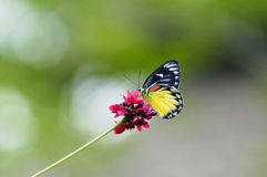 Vlinder op rode bloem Stock Foto