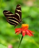 Vlinder op rode bloem Royalty-vrije Stock Foto's