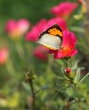 Vlinder op rode bloem Stock Afbeeldingen