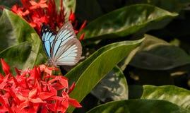 Vlinder op rode bloemen Stock Foto