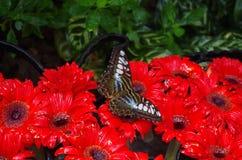 Vlinder op rode bloemen Stock Foto's