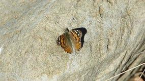 Vlinder op Rots Stock Afbeeldingen