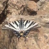 Vlinder op rots Stock Foto