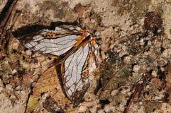 Vlinder op rots, Cyrestis-thyodamas stock foto
