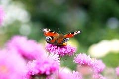 Vlinder op roze bloem Royalty-vrije Stock Foto