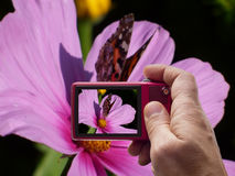 Vlinder op roze bloembeeldzoeker in camera Stock Afbeelding