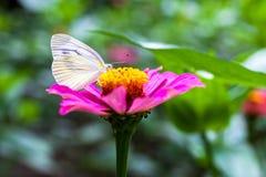 Vlinder op roze bloemen Royalty-vrije Stock Foto