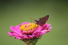 Vlinder op roze Zinnia Royalty-vrije Stock Afbeeldingen