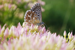 Vlinder op sedum Royalty-vrije Stock Afbeelding