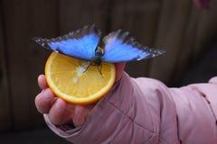 Vlinder op sinaasappel Stock Foto