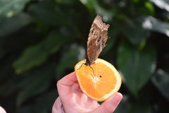 Vlinder op sinaasappel Stock Fotografie