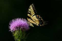 Vlinder op spear distel Stock Foto