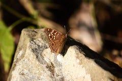 Vlinder op steen Stock Afbeeldingen