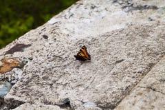 Vlinder op steen Royalty-vrije Stock Fotografie