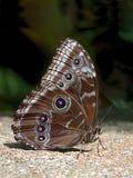 Vlinder op steen Stock Afbeelding