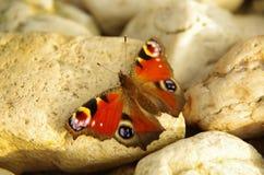 Vlinder op steen Stock Foto