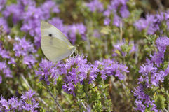 Vlinder op thyme Royalty-vrije Stock Foto
