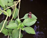 Vlinder op Vijver Royalty-vrije Stock Foto
