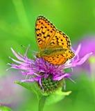 Vlinder op violette bloem Stock Fotografie