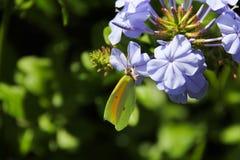 Vlinder op violette bloem Royalty-vrije Stock Afbeeldingen