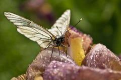 Vlinder op viooltje. Royalty-vrije Stock Afbeeldingen