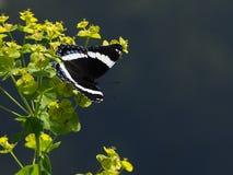 Vlinder op wildflowers stock afbeelding