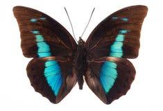 Vlinder op wit Stock Afbeelding