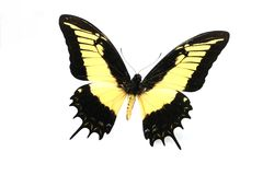 Vlinder op witte achtergrond Stock Afbeeldingen