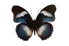 Vlinder op witte achtergrond wordt geïsoleerdi die Stock Afbeeldingen