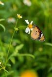 Vlinder op witte bloem Stock Fotografie