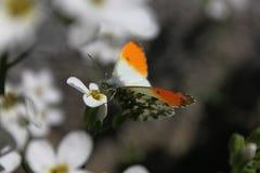 Vlinder op witte bloem stock afbeeldingen