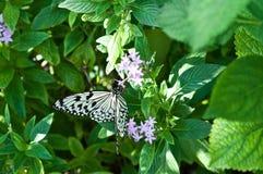 Vlinder op witte bloem Royalty-vrije Stock Foto's