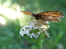 Vlinder op witte bloemen 77 royalty-vrije stock afbeelding