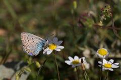 Vlinder op witte bloemen Stock Foto