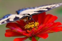 Vlinder op Zinnia Royalty-vrije Stock Fotografie