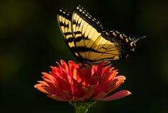 Vlinder op Zinnia Royalty-vrije Stock Foto