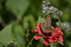 Vlinder op Zinnia Royalty-vrije Stock Afbeelding