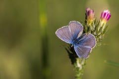 Vlinder open op bloem Stock Afbeelding