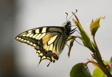 Vlinder Oude Wereld Swallowtail. Royalty-vrije Stock Afbeeldingen